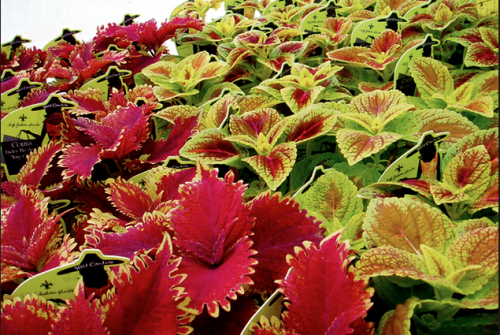 Coleus Patch…