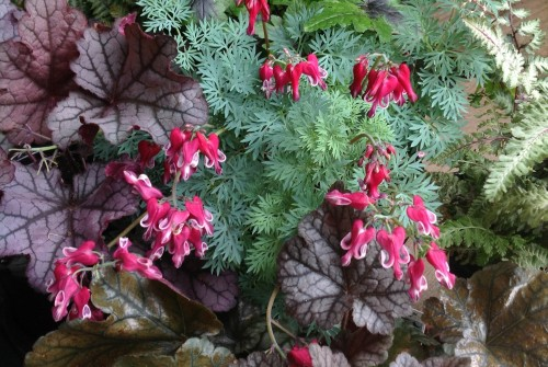 'Burning Hearts' Dicentra and Friends…